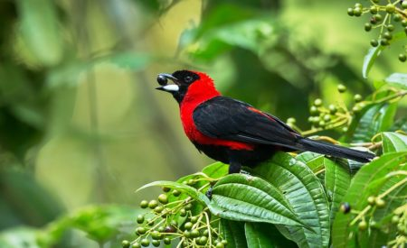 Like most tanagers, masked crimson tanagers are mostly frugivorous, supplementing their fruit diets with small insects such as flying termites.