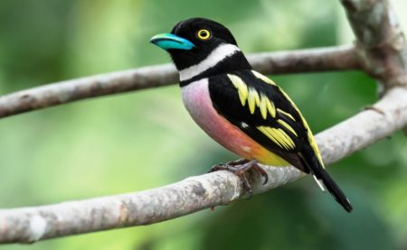 The species is a large broadbill average 21.5–23 cm, with purple, yellow and black plumage.