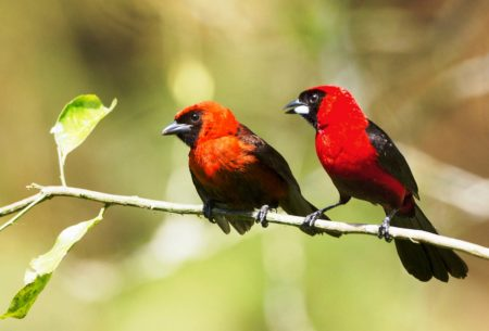 It is one of nine species of brightly colored tanagers of the genus Ramphocelus.