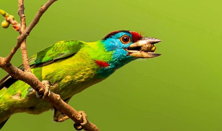 "The blue-throated barbet ""Psilopogon asiaticus"" and toucans are a group of near passerine birds with a worldwide tropical distribution."