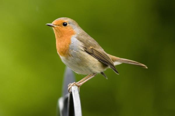 The robin is a particular favorite among bird lovers; everyone enjoys the attentions of this familiar redbreast in the garden during winter.