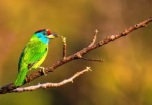 The bird's courtship behavior consists of mutual feeding, and paired birds will 'duet' and display.