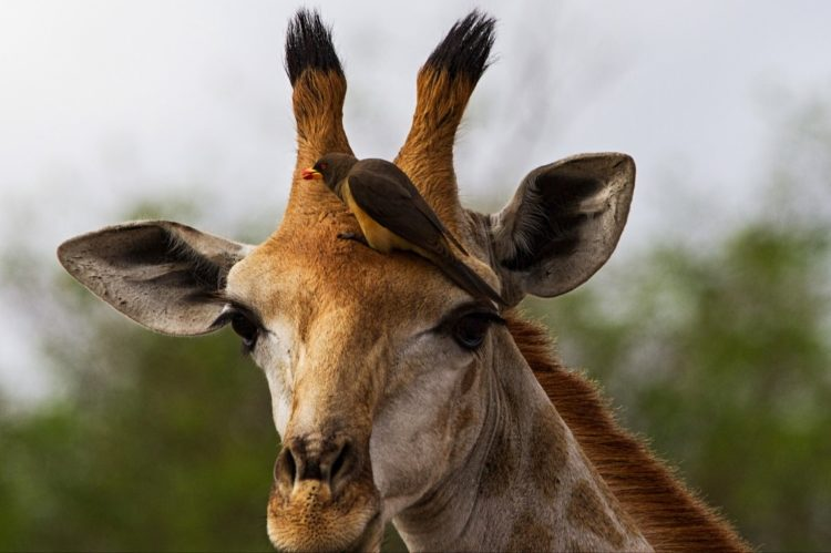 Whatever the net result, mammals generally tolerate oxpeckers. It may also glean blood and mucus from long hair, or drink blood from wounds.