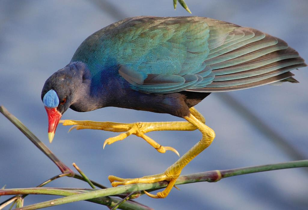 However, low light or darkness can dim the bright purple-blue plumage of the adult to make them look dusky or brownish.