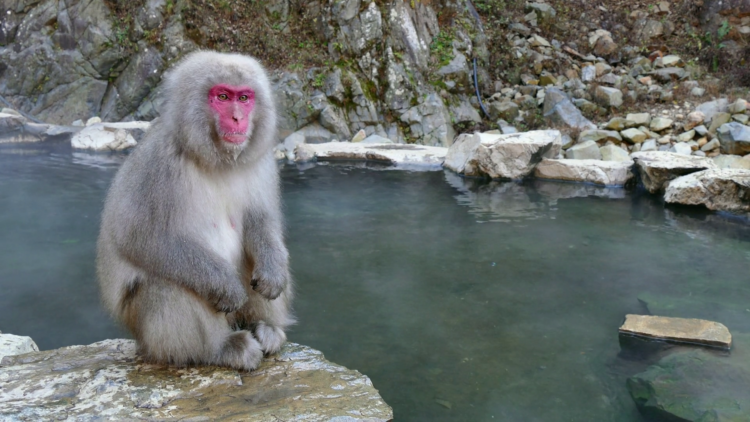 The monkeys descend from the steep cliffs and forest to sit in the warm waters of hot springs, and return to the security of the forests in the evenings.