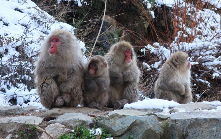 Though, monkeys are fed by park attendants, they are in the area of the hot springs all the year round, and a visit at any season will enable the tourist to observe hundreds of the macaques.
