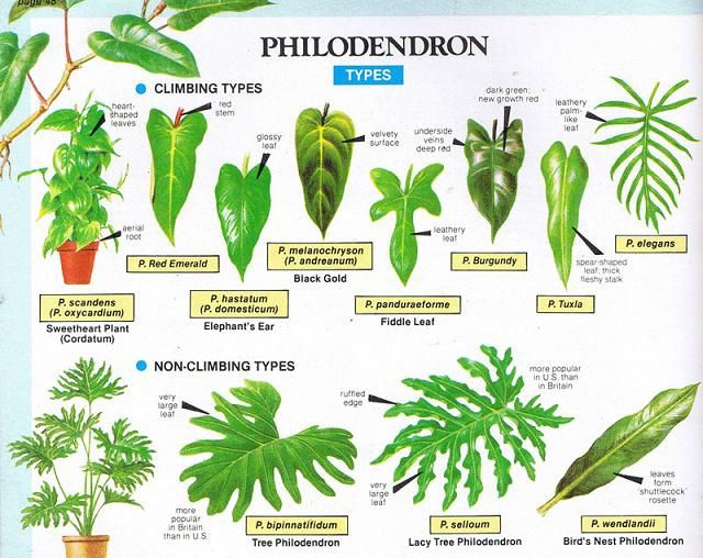 Philodendron types