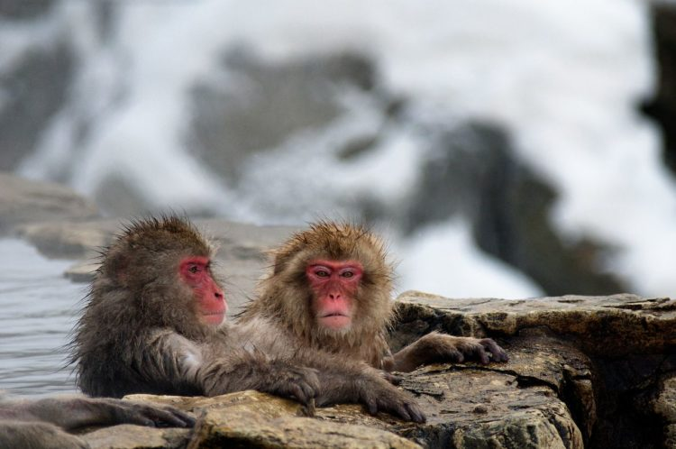 "These are also referred to Japanese macaques ""Macaca fuscata"", in Yamanouchi, Shimotakai District, Nagano Prefecture, part of the Joshinetsu Kogen National Park"