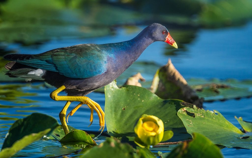. This is medium size colorful bird reaches a length of 26-37cm in length while spanning 50-61cm across the wings.