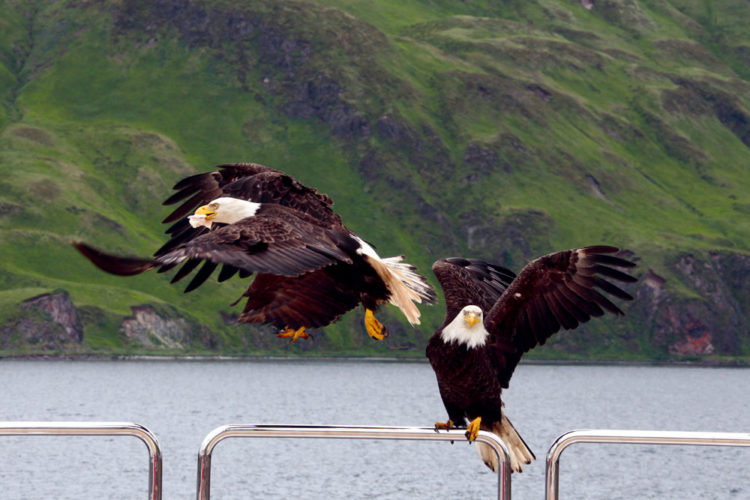 The magnificent bald eagle is the national bird of America, but most Americans are lucky to see one first-hand during there lifetimes.