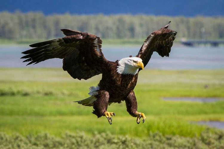 The small town of Unalaska, bald eagles are as common as pigeons are in other human settlements.