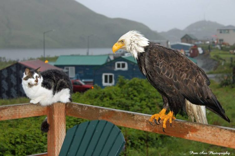 The Unalaska is home of about 5,000 inhabitants, normally spare the space for bald eagles, who lurk above telephone poles, and stop lights watching for potential victims to sweep down upon, litter through trash, and steal grocery bags.