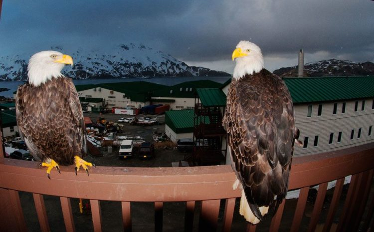 So, Bald eagles find the other way to build there nests on cliffs, on the edge of town, and in manmade structures.