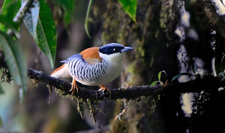dis beautiful bird natural habitat is tropical to subtropical humid montane forests.