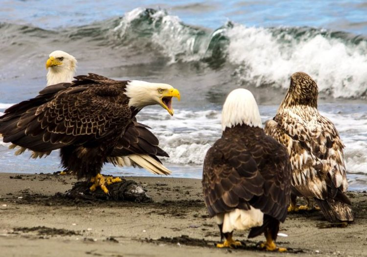 The seven-foot wingspans, flesh-ripping beaks and vice-like talons, eagles rule the island.