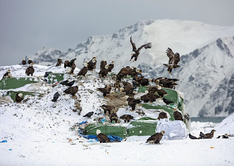 But why are their annual eagle attacks in Unalaska when raptors and humans peacefully coexist elsewhere in the state? Photographs by Corey Arnold