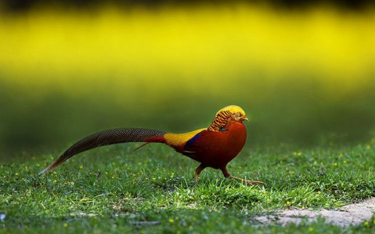 . The golden pheasant feed consist on the ground grain, leaves and invertebrates, but they roost in trees at night. They tend to eat berries, grubs, seeds and other types of vegetation.