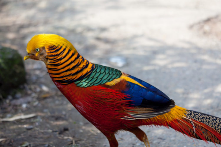 Golden Pheasant too, roost in the trees of the wood, and it is inquisitive that they always tell you where they go to bed.