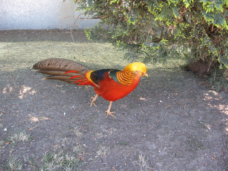 """By natural habitats golden pheasant are particularly aggressive because they have a """"harem"""" structure, mating with several hens a year."""