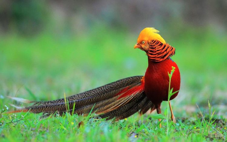 The adult golden pheasant is approximately 90 to 105 cm in length. The golden pheasant is unmistakable with its golden crest and rump and bright red body.