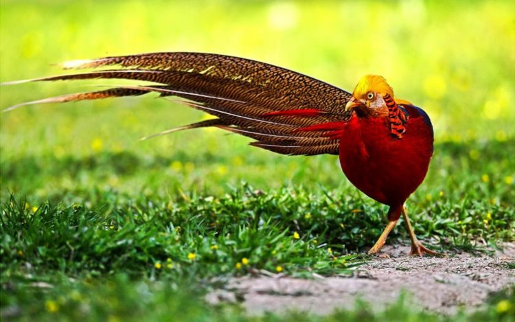 The Golden pheasants normally lay 8 to 12 eggs at a time and will take 22 to 23 days for incubate. After the pheasant chicks hatch, they are able to run and eat as soon as they are dry.