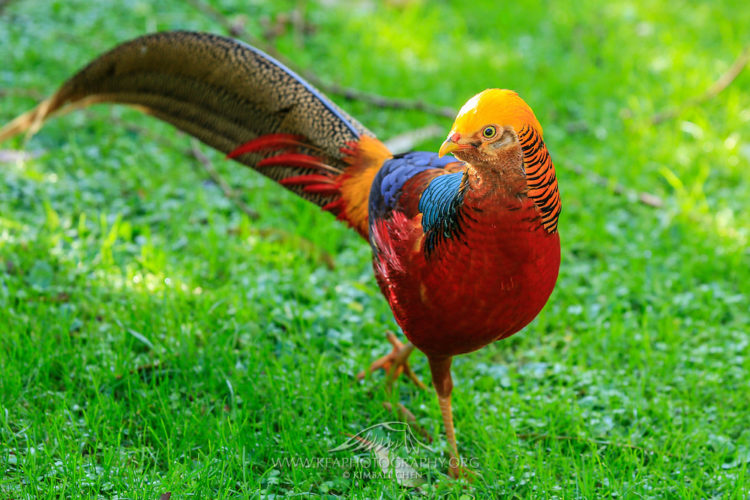Moreover Golden Pheasant eggs are alike in size to a duck egg, making them slightly larger than a chicken.