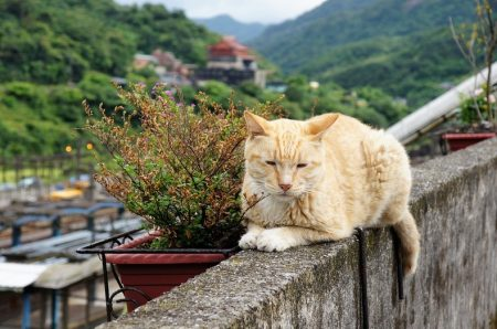 Though most of the cats hang out in the collection of cottages that cling to the hillside, they can be found roaming all over Houtong Village.
