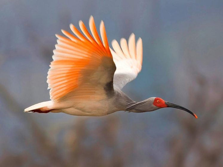 Asian crested ibis soaring over China is a first-prize winner in the first annual World's Rarest Birds international photo competition, organizers announced in January.