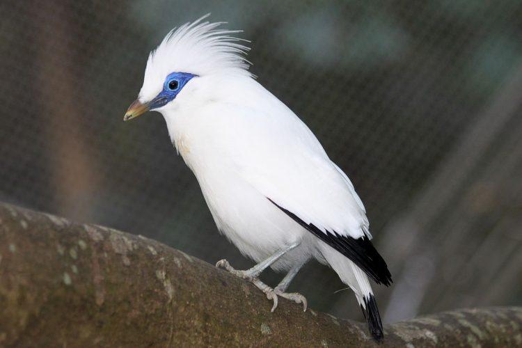 Burung Jalak Starling Bali