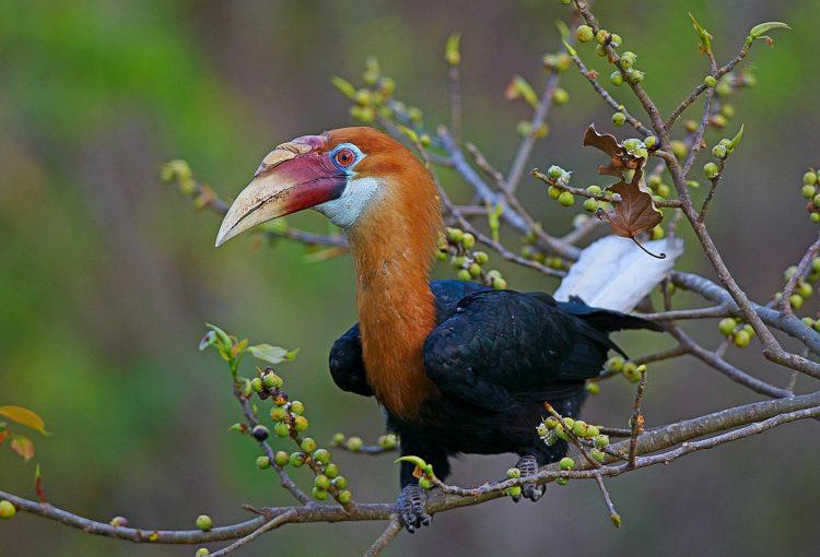 Narcondam hornbills Photograph by Dhritiman Mukherjee