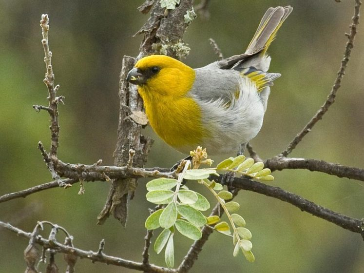 Palila in Hawaii critically endangered or extinct in the wild category, according to a World's Rarest Birds contest statement.