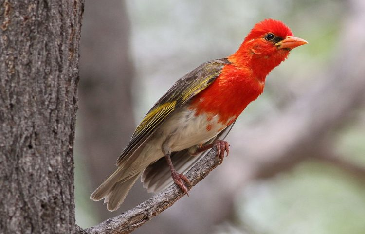 Red-headed Weaver, Anaplectes rubriceps at Marakele National Park, Limpopo Province, South Africa
