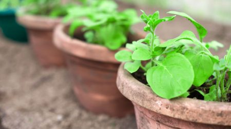 Sowing and Germination for Care of Herbs