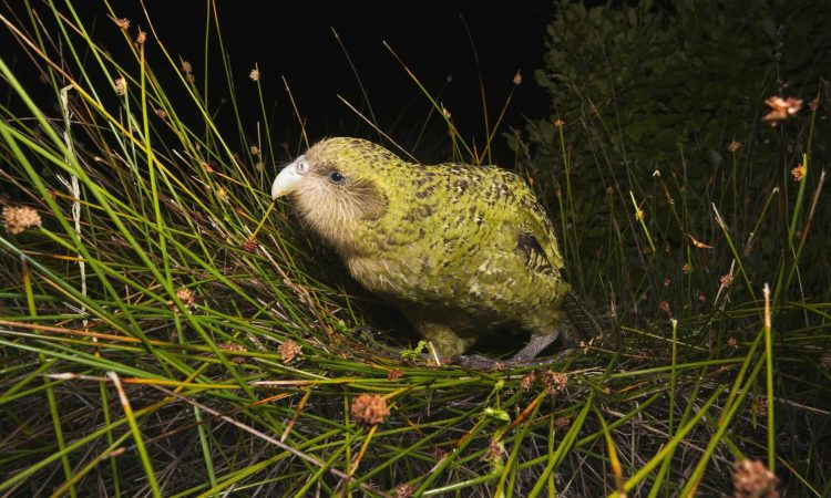 kakapo ( Strigops habroptila), a noctural parrot that has evolved as flightless due to the historic absence of mammalian predators in its New Zealand habitat.