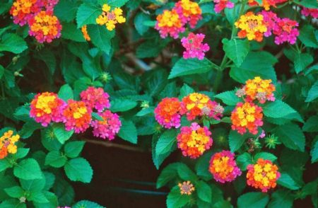 Lantana Heads perennials grown as half hardy annuals in most climates, or wintered over indoors can grow 10 feet in very warm climates