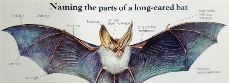 The name of the Bat with Long Ears is an understatement: the ears are huge almost as long as the rest of the body and they play a vital role in the detection of prey.