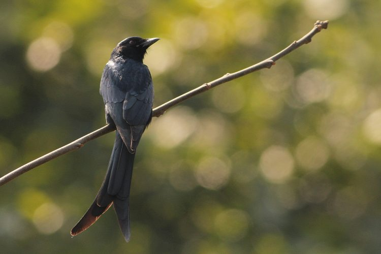The Black Drongo has distinctive formed tail. It feeds on insects and measure 28c in length.
