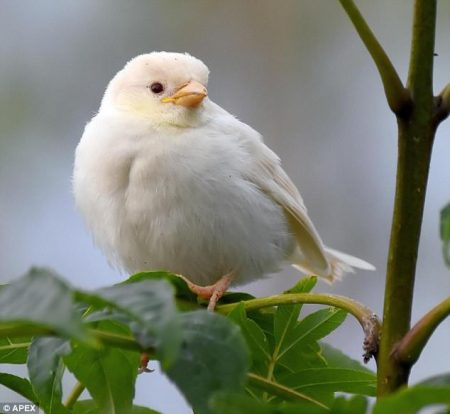 . Albinos are one of the rarest birds in the world and are distinctive. Unluckily Albino White Bird rarely reaches adulthood