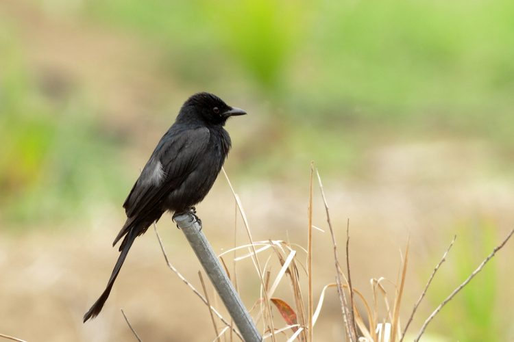 The Black Drongo has aggressive behavior towards much larger birds. Like crows, never hesitating to dive-bomb any bird of prey that invades its territory.