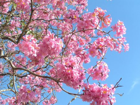 Tabebuia tree care is very easy, perfect and breezy in warmer zones in many locations and has no root problems.