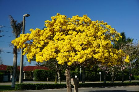 Tabebuia are not very messy and have never had to rake the leaves as they fall gradually over time.