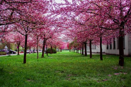 For hundreds of years, cherry trees have been cultivated in the Far East for their ornamental blossoms.