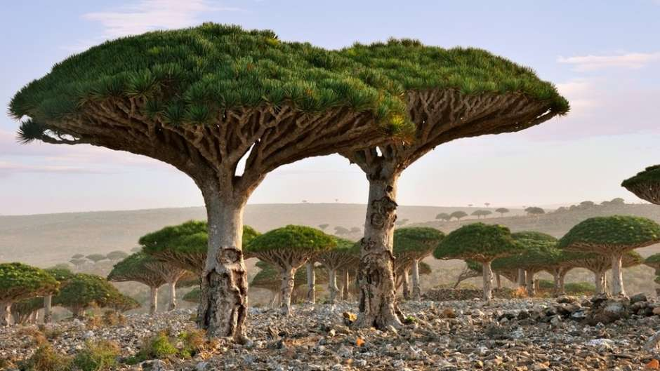 Socotra is an isolated island, situated around 250 miles off the coast of Yemen. It is a small archipelago of four islands in the Indian Ocean.