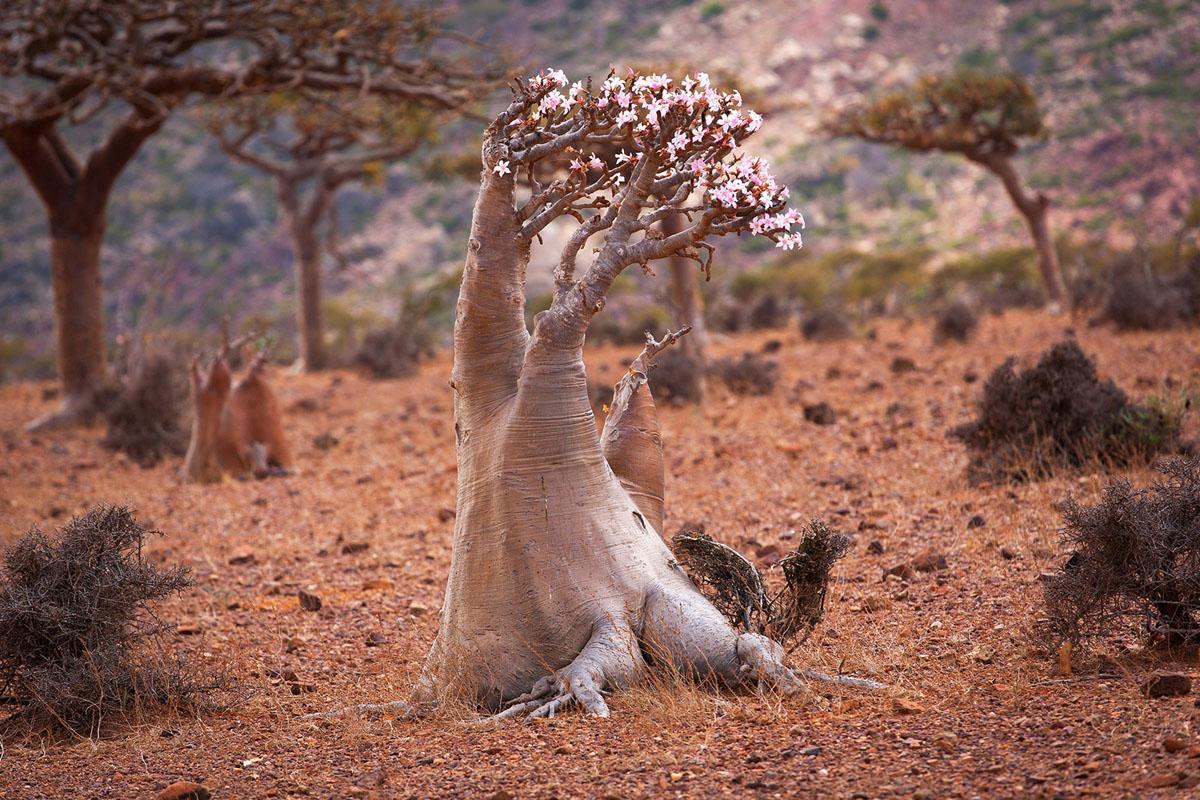 Bottle tree, island Socotra, Yemen. (sunsinger)