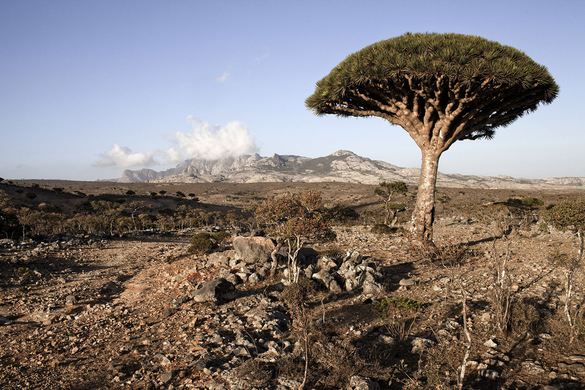 """SOCOTRA ISLAND, YEMEN - MARCH 11: A Dragoon tree is seen in Diksam Plateaux on March 11, 2011 in Socotra Island, Yemen. The Socotran Archipelago is one of the greatest treasures of biodiversity. Located about 400 km south of the mainland in the Indian Ocean, it's is of continental origin, formed as part of the same process of continental drift that shaped the Arabian Peninsula. The archipelago comprised four island: the main island of Socotra and three smaller islands, knows as """"the brothers"""". The main island of Socotra covering an area of 3,626 Km square, consists of coastal plains, inland limestone plateaux and the Haghier Mountains in the Northwest, which reach a height of 1525 meters. The climate is arid, with seasonal monsoons occurring from March to May. An estimated 30% of the island chain's plant life is endemic, as many of the birds from there and not all of the region's animal spices have been identified and the waters surrounding the archipelago are relatively unexplored. Yemen is one of a number of countries in the North African and Middle east region that have seen increasing unrest since the presidents of Egypt and Tunisia were ousted in popular revolts earlier this year. The protest against President Ali Abdullah Saleh's 32-year rule have left about 30 people dead since the beginning of the year 2011. Hundreds of police moved in, using tear gas, water cannons and live bullets in Tahrir Square, where protesters have been camping out for weeks. The protesters, fed up with corruption, poverty and a lack of political freedom, have rejected Mr Saleh's offers to form a national unity government and demanded that he step down. The president also faces a separatist movement in the South, a branch of al-Qaeda, and a periodic conflict with Shia tribes in the North. (Photo by Marco Di Lauro/Getty Images)"""