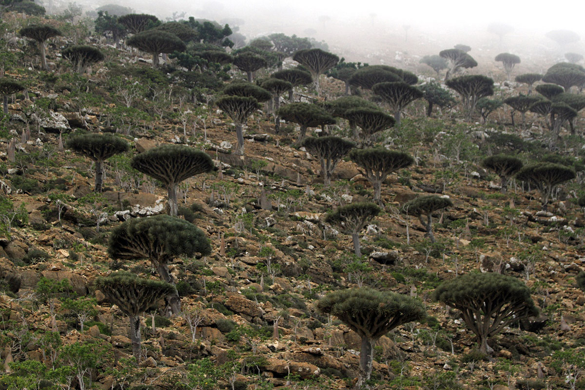 Dragon's Blood trees, known locally as Dam al-Akhawain or blood of the two brothers, are pictured on Socotra island