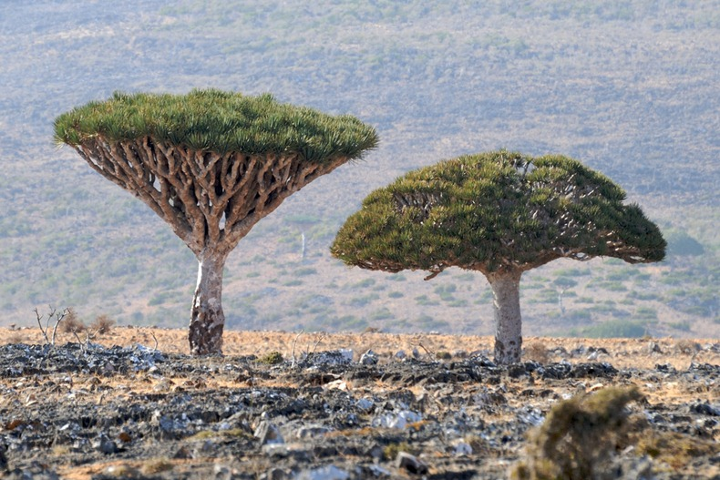 Socotra Island is swarming more than 800 rare species of plants of which more than a third are endemic.