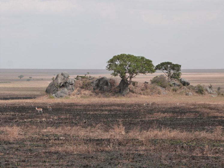 The plains of Serengeti are too flat to hold water; the hollows in the rock surfaces provide catchments for rainwater.