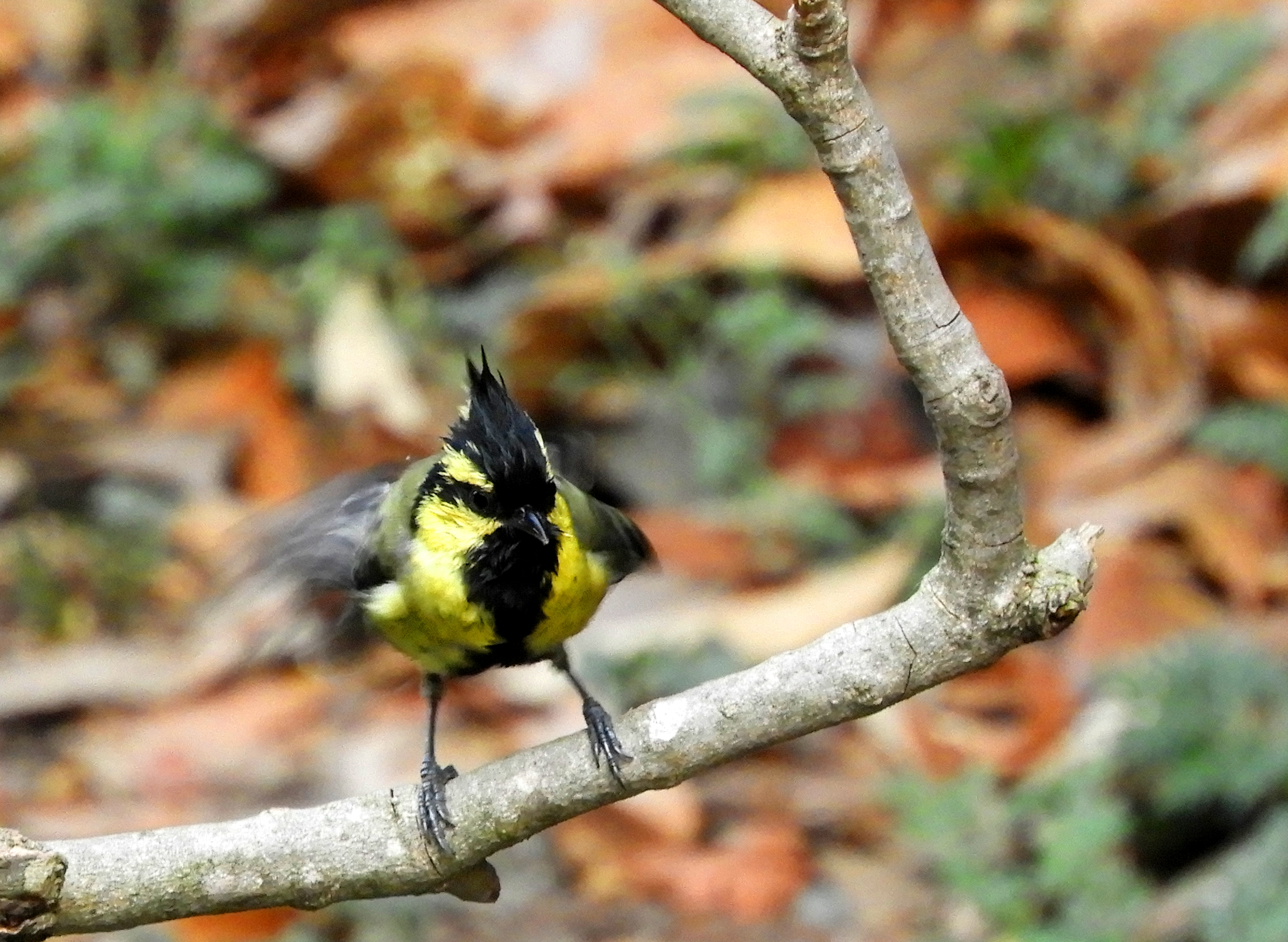 The closest relative is yellow-cheeked tit, which also has yellow tit. The Indian Black-lored Tit is a resident breeder on the Indian subcontinent.
