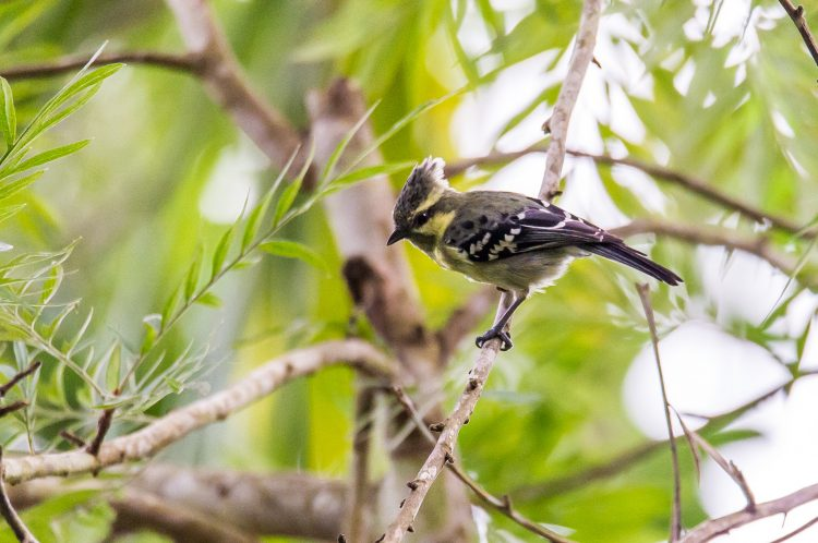 This species is very active and agile feeder. The bird Food includes small invertebrates and larvae to eat fruits, taking insects and spiders from the canopy.